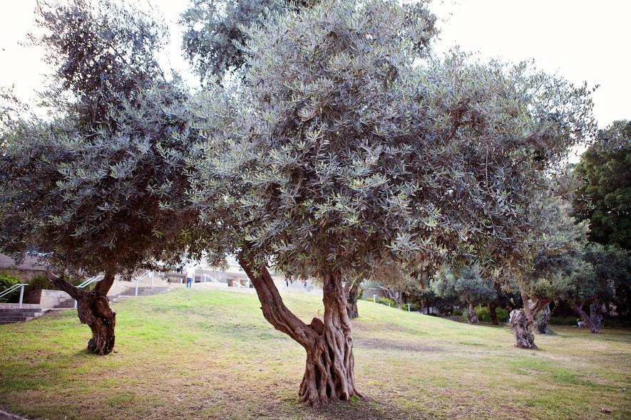 Сад со старыми оливами Gan Binyamin