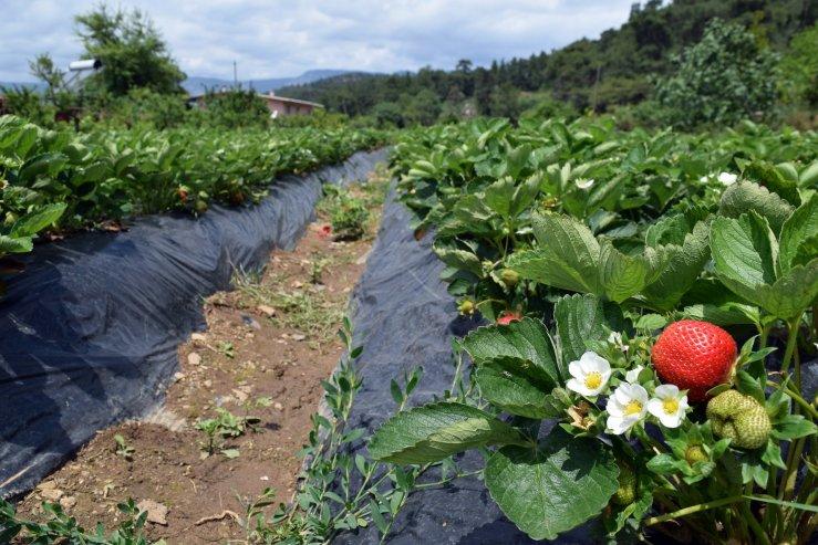 Клубничные плантации Çamlı köyü