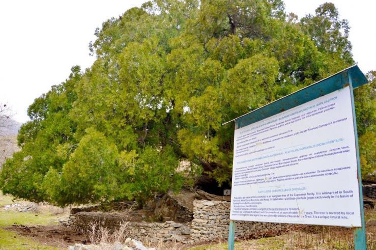 Священное дерево в селе Меджрум
